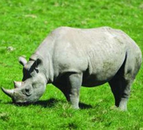 Catching the Rhino B(u)y the Horn