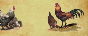 The Globe-Trotting Chicken's Ancestor